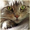 Floris (Cajaflez) Tags: portrait pet cute cat kat chat niceshot longhair mainecoon katze portret gatto huisdier kater floris tomcat pedigree topshots cc1000 natureselegantshots 100commentgroup saariysqualitypictures mygearandme mygearandmepremium mygearandmebronze mygearandmesilver