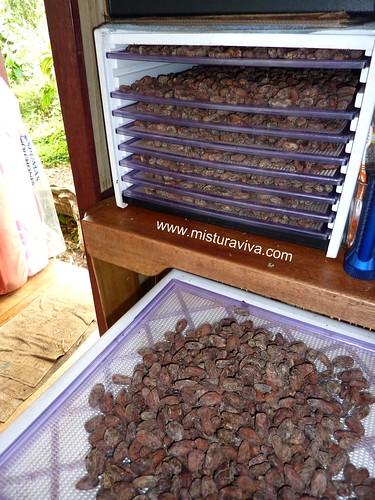Desidratando as sementes de Cacau