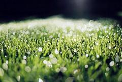 [フリー画像] 花・植物, 芝生, 雫・水滴, 201109070700