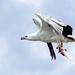 White Bellied Sea Eagle #1