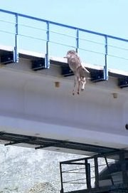 Thia is what a donkey hanging from a bridge looks like