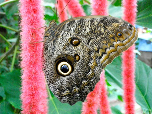 Vlinder Hippo enzo