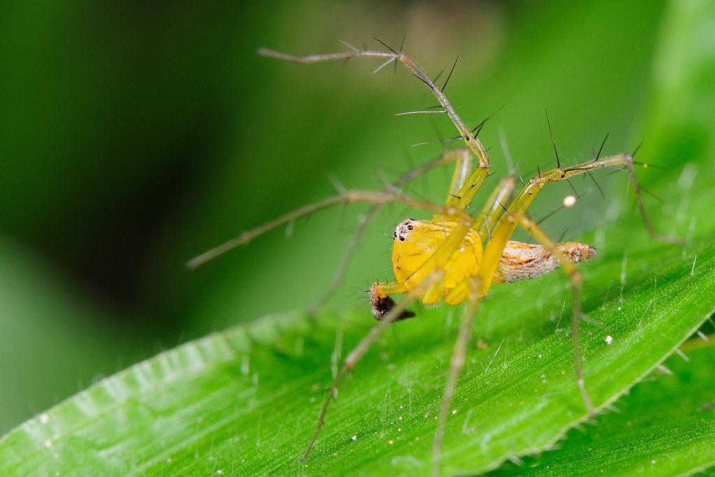 斜紋貓蛛 Oxyopes macilentus