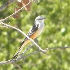 scissortail flycatcher on a tree