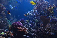 Sea World! (ineedathis) Tags: fish beauty animal coral aquarium exotic clownfish seaanemone tropicalfish marinelife saltwaterfish bluetang yellowtang nikond80
