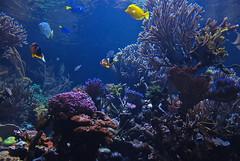 Sea World! (ineedathis, the older I get, the more fun I have!) Tags: fish beauty animal coral aquarium exotic clownfish seaanemone tropicalfish marinelife saltwaterfish bluetang yellowtang nikond80