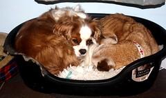 IT SAYS DO NOT DISTURB! (Bogart Cat) Tags: simpson oadby kingcharlescavalier browndogssleepingdogs
