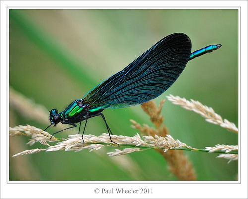 Beautiful Demoiselle ♂ by Paul_Wheeler