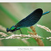 Beautiful Demoiselle ♂