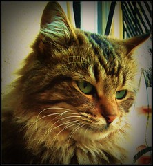 Miss Porsie hunter,naughty but very cute (tulayyorguc) Tags: niceshot thebestofday gnneniyisi catnipaddicts mygearandme