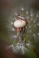 Untitled (macropoulos) Tags: topf25 bug dandelion animalia arthropoda gettyimages insecta hemiptera heteroptera canoneos5d canonef100mmf28macrousm rhopalidae 30faves30comments300views pentatomomorpha stictopleurus coreoidea gettyimages:date_added=20110916