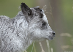 Japanese serow kid (gentle lemur) Tags: highlandwildlifepark japaneseserow capricorniscrispus
