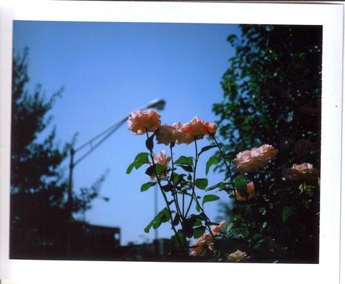 Boulevard Roses