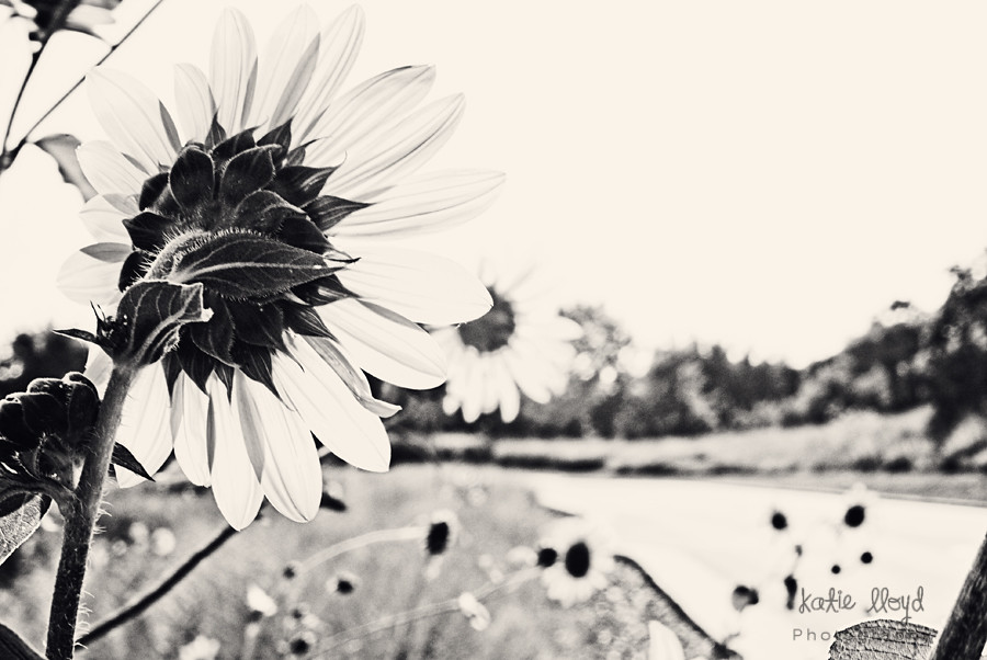 sunflowers---b&w