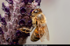 bee - adaptall 105mm f/2.5 (pixelwhip) Tags: copyright macro canon vintage insect lens spider photo spring photographer mark tubes lavender australia melbourne double bee extension tamron f25 105mm 2011 adaptall burban pixelwhip