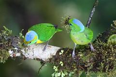 Costa Rica (joeksuey) Tags: santa bridge sky bird golden costarica walk 5 elena hanging monteverde adventures 2011 browed chlorophonia joeksuey