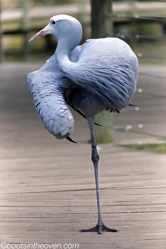 Blue Crane, South Africa's national bird