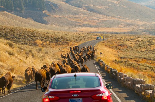 Bison Jam in Lamar Valley by Mark/MPEG (Midwest Photography Enthusiasts Group)