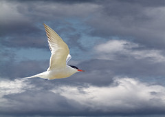 Comm-tern-clouds_5654 (Peter Warne-Epping Forest) Tags: nature water birds canon wildlife common tern mobbing sterna hirundo