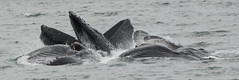 Alaska and whales (IceSabre) Tags: water alaska feeding ak juneau whale humpback 2011 bubblenet