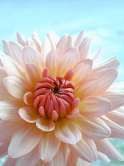 dahlia (August12th2011) (C-Smooth) Tags: pink flowers italy white flower macro nature fleur colors beauty closeup 50mm petals nikon blossom blume dahlias dalia etereal 08122011 august12th2011