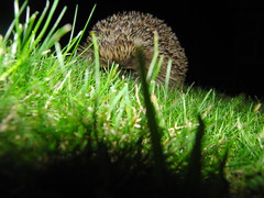 Garden Hedgehog (Alex Staniforth: Wildlife/Nature Photography) Tags: uk wild alex night dark photography cheshire wildlife group casio hedgehog common staniforth exfh20