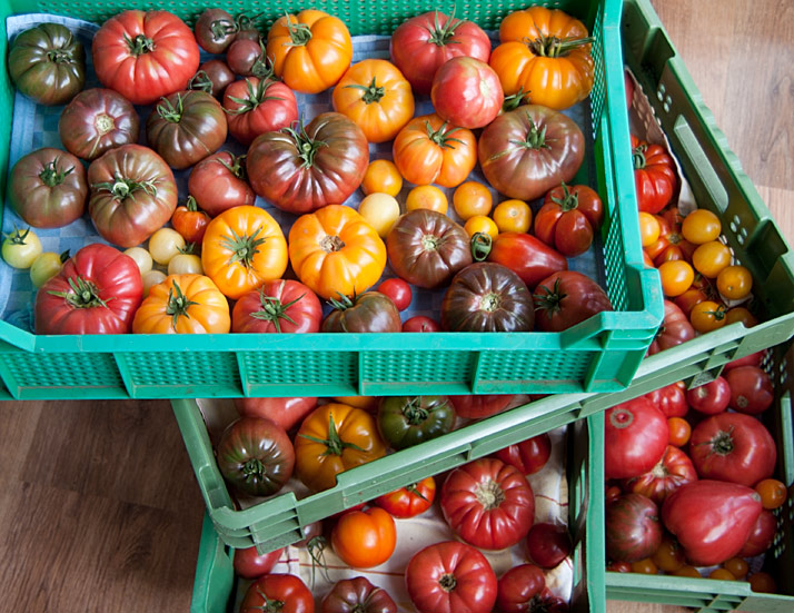tomaten4hoog