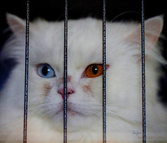 a Snow White behind the bars ! (Hajar Al Akoor {..waaay behind in comments..}) Tags: portrait pet white eye colors cat freedom bars ghandi snowwhite odc behindthebars ourdailychallenge hajaralakoor