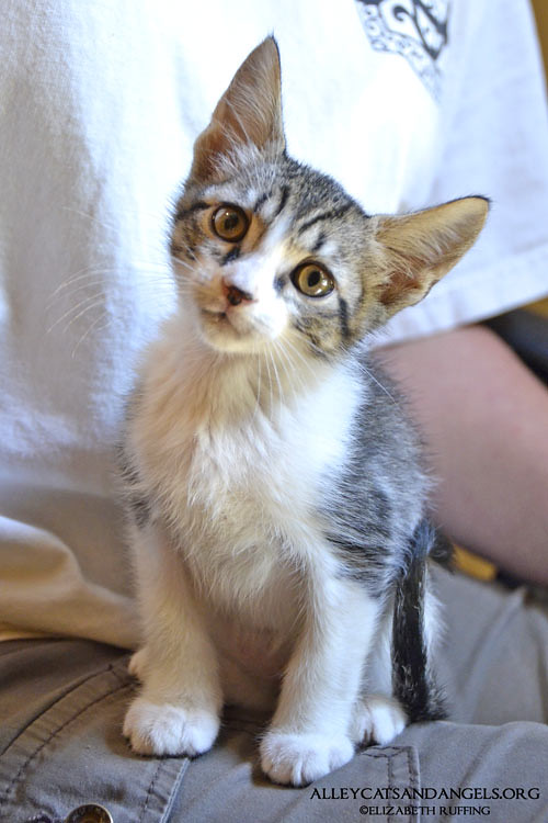 Pugsley by Elizabeth Ruffing, adoptable kitten, Alley Cats and Angels of NC rescue