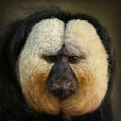 Close up of a male White-faced Saki [Pithecia pithecia] [Explored] (PCsAHoot - Dipping toes in...) Tags: nature monkey whitefacedsaki specanimal magicunicornverybest magicunicornmasterpiece coppercloudsilvernsun sbfmasterpiece marculescueugendreamsoflightportal