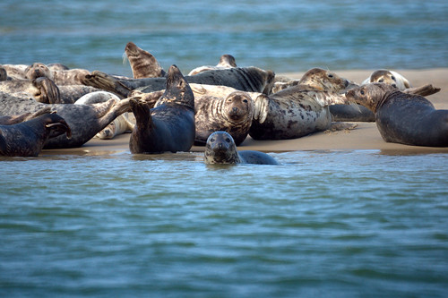 Gray Seals: Cape Cod
