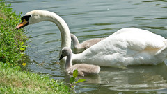This is how we do it (DobingDesign) Tags: family summer water swimming pond unity cygnet surrey swans teaching cygnets motherlove painshillpark motherandchildren