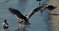 Seagull-3-3 (Orkakorak) Tags: summer seagulls back inflight landing backlit behind fraserriver pittmeadows storybookwinner showbizwinner walkoffameawardwinner showbizredcarpeteventwinner hollywoodlegendsawardwinner directorschoiceawardwinner 3rdplacedirectorschoicechallenge okpg