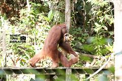 just like human... (skygon) Tags: street travel wild slr animal photography scenery g wildlife sony reserve center sarawak malaysia orangutan moment alpha dslr turns 70200 kuching everlasting glens semenggoh a700 sal70200g 70200g alpha700 momentturnseverlasting