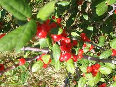 Wild Berries (Mr. Happy Face - Peace :)) Tags: flowers canada colorful alberta wildflowers braggcreek provincialparks