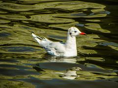 Floating sea gull (Ashkan Kankash) Tags: sea favorite nature beautiful photography amazing nikon view gull hamburg floating möwen elbe مرغ naturesfinest finegold دریایی favoritesonly naturewatcher dazzlingshots