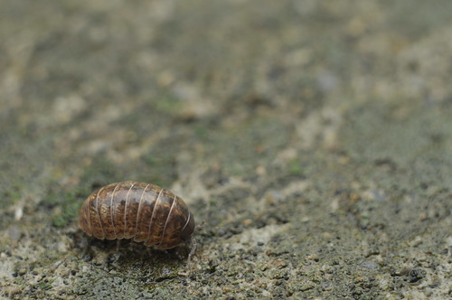 Japanese Rolly polly
