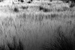 Haaksberger veen (bw) (Matthieu Verhoeven - Photographer -) Tags: white black landscape nikon veen het zwart wit riet d3 landschap matthieuverhoevenfotografie canehaaksbergen