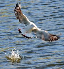 DSC_0217 (RachidH) Tags: birds oiseaux waders seabirds shorebirds blackheadedgull gulls chroicocephalusridibundus mouetterieuse winterplumage summerplumage safapark dubai park unitedarabemirates uae nature rachidh
