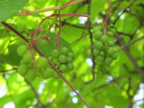 New Brunswick Native River Grape (Vitis  riparia) Hardy to Zone 2b collected and propogated by Bob Osborn at Cornhill Nursery