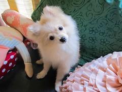 eh? (Gabeat.) Tags: dog white cute puppy bowie cachorro pomeranian perrito pomi