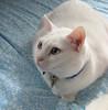 Daisy (twinkle_moon_bunny) Tags: white cat kitty daisy