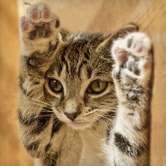 hands up! (Black Cat Photos) Tags: uk england cute cat blackcat photography photo movement kitten funny europe action tabby performance move m perform handsup blackcatphotos