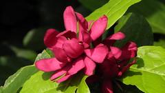 Magnolia (H G M) Tags: flowers magnolia reddishpurple arnoldarboretuminboston