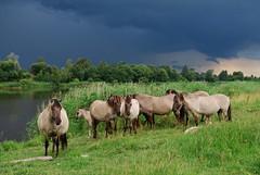 8 (Bargais) Tags: wild horses tree nature river landscape island latvia latvija jelgava pilssala