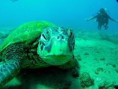 closefaceDa (Aaron Lynton) Tags: ocean hawaii underwater pacific maui clean turtles honu seaturtle greenseaturtle cleaningstation