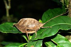 Costa Rica (joeksuey) Tags: santa cloud night forest insect dead leaf costarica tour walk reserve elena santamaria monteverde katydid mimic biological 2011 joeksuey
