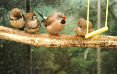 Swinging... (bigbrowneyez) Tags: black green nature beautiful birds grey high beige soft branch dof y bokeh joy wing textures precious perch resting swinging lovely teeny tenderness textured active orangebeak forbirds painterlyeffect yellowswing