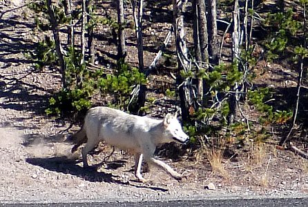 wolf - alpha female Canyon Pack