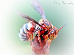 IMG_048 (Tony Borrach) Tags: brazil blur macro closeup brasil riodejaneiro bresil wasp bokeh brasilien tony bee abelha makro brasile sul picnik desfocada brsil sudamerica americadosul marimbondo desfoque brazili sudamrica sdamerika  photoscape itagua itaguai tony